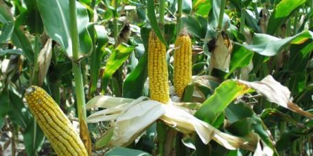maize-field-660x330
