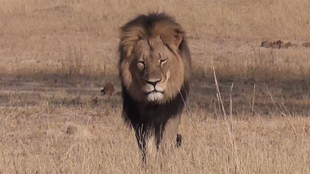 cecil-famous-lion-in-zimbabwe-s-hwange-national-park
