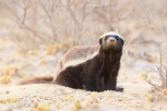 badgerprimary